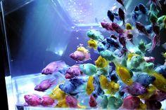 Japon, Tokyo: des poissons rouges dans un réservoir dans le cadre de «Aquarium Art» une exposition à Tokyo le 16 Août 2012. L'exposition est conçue par l'aquariophile Hidetomo Kimura. AFP PHOTO / Yoshikazu TSUNO