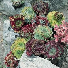 WINTER HARDY MIX Sempervivum Seeds A wonderful collection of evergreen, carpet forming succulents with thick, fleshy leaves that form small or large rosettes depending on the variety. Plants spread by producing little offsets (chicks) that cluster around the parent rosettes (hens). The clustered star-shaped summer flowers are often rosy-red but can also appear in shades of pink, yellow, white or green. Excellent in containers or rock gardens. Winter hardy to zone 5.