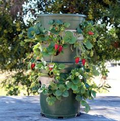 Make an easy DIY strawberry tower with a built-in reservoir, using recycled materials! This productive vertical strawberry planter can grow 48 plants in 2 square feet, great for patios and small space! Lots of tips and 5 lessons we learned from last year! Strawberry Tower, Strawberry Planters, Edible Garden, Easy Garden, Gardening For Beginners, Gardening Tips, Organic Gardening, Heather Plant, Herb Wall