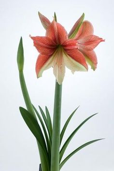 Types of Houseplant Bugs and Methods to Check Their Infestation Amaryllis Israeli 'Half and Half' Flora Flowers, Bulb Flowers, Exotic Flowers, Amazing Flowers, Flower Pots, Beautiful Flowers, Amaryllis Plant, Amaryllis Bulbs, Planting Bulbs