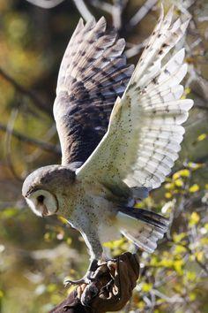 "mstrkrftz:  "" Barn Owl ""Nina"" by Susan Liddle """