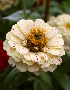 Beige Zinnia with bee-attracting yellow center, pink flecks. Have to be careful with the zinnias. The bees and hummingbirds and butterflies love them and they are pet safe unlike the oh so lovely dahlia but they go from great to gaudy really fast! Yellow Wedding Flowers, All Flowers, Exotic Flowers, Orange Flowers, Tropical Flowers, Amazing Flowers, My Flower, Colorful Flowers, Beautiful Flowers