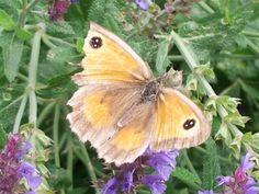 Butterfly in Bodnant Gardens.