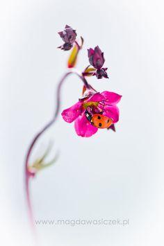 Drinking ladybug by Magda Wasiczek on 500px