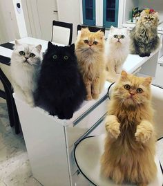 fostering some fluffy cats