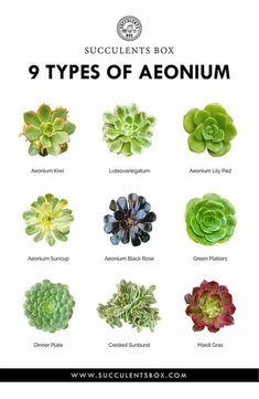 9 types of Aeoniums – my favorites - Garden Types Echeveria, Crassula Succulent, Aeonium Kiwi, Succulent Gardening, Planting Succulents, Planting Flowers, Succulents Drawing, Succulent Containers, Container Flowers