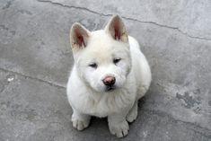 Nom #akita #inu #puppy #dog #puppie