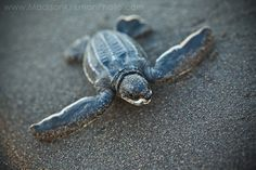 Just hatched, this baby leatherback sea turtle is going to sea. Parismina, Costa Rica. © Madison Kirkman