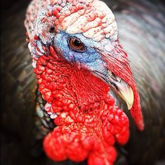 According to the Guinness Book of World Records, the heaviest turkey on record weighed 86 pounds.