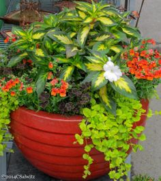 Cheerful container with flowers and fine foliage = The above pot has variegated spreading White Sunpatiens; orange Nemesia; Oxalis 'Dark Dancer'; and Creeping Jenny.