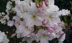 My beautiful cherry blossom flowers <3
