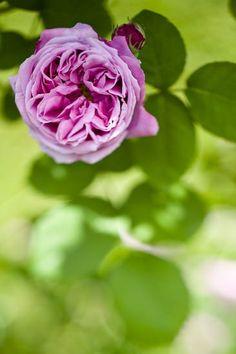 Old Rose Flowers Garden Landscape Landscapes