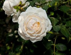 Cloud 10™ has exceptionally clean foliage and a very full flower, similar to the English roses. This pure white climber blooms heavily in the spring and will re-bloom throughout the season. It is hardy to zone 5 climates but may perform more like a large shrub than a climber. It will do great everywhere, but especially in the south and all areas troubled with black spot.