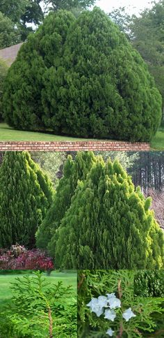 """Oriental Arborvitae Thuja (Platycladus Orientalis Cupressaceae) - Zone: 6-11 Part-Full Sun 50' Height 20' Width. Medium growing (6""""-10"""" per yr). Evergreen shrub with tight, compact foliage held in soft, dense, fanlike vertical sprays. Even mature specimens keep dense foliage all the way to the ground. Does well on poor, excessively drained soils, even those with high pH. Good for screens, windbreaks, & low maintenance xeriscape gardens.Propagate by seed (produced abundantly) germinates…"""