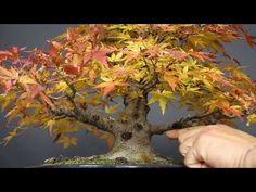 Separación de acodo - Bonsai Colmenar - YouTube