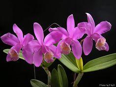 Cattleya harrisoniana