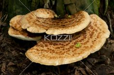 close-up of mushrooms. - Tree bark mushrooms with a nice pattern across the plant.