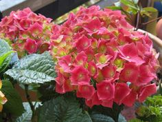 Hydrangea - a great plant for part shade conditions.