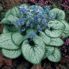 "One of my favorite shade garden perennials, Brunnera ""Jack Frost"" - brightens up shady areas with almost neon bright blue flowers and amazing white foliage. by Kay Berry"