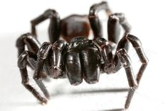 Sydney Funnel-Web Spider  From article: 7 Most Dangerous, Poisonous Spiders in the World (+Creepy Videos)