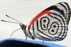 Borboleta 88    Encontradas primordialmente no pantanal brasileiro, essa espécie de borboleta leva esse nome em virtude das listras em suas asas que se assemelham ao número 88.
