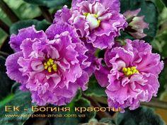 ЕК-Богиня Красоты.  Коршунова.Огромные густомахровые волнисто-кудрявые звезды ярко-розового цвета с пурпурными переливами по всему цветку. Цветение обильное.