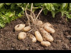 Huge Potato Field (Pahari Aalo) at Abbottabad, Pakistan Agriculture Information, Vegetable Farming, Pakistan, Home And Garden, Vegetables, Grow Potatoes, Cottage Homes, Walks, Blessings