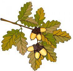 Oak branch with acorns.....acorn pancakes recipe