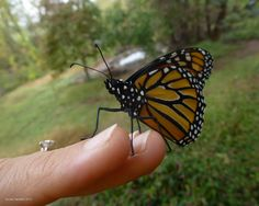 Bringing back the Monarchs, Keeping the Magic Alive! Why try? Because, if given the milkweed to lay her eggs on, every female can lay 300+ eggs in her lifetime. We just need to do our part and restore the plants. Photo by Nicole Hamilton