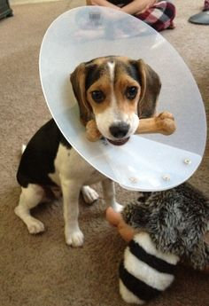 Awww...the cone of shame. My beagle's been there, done that...a few times.