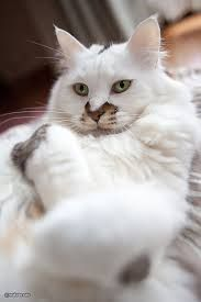 Fluffy cat breeds are some of the most popular, furry cats can be found in white, black, grey and even Siamese coloring.