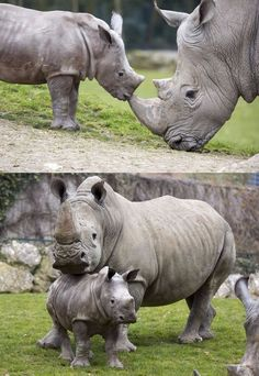 Many people want to compare hippopotamus vs rhinoceros fight, who going to win. Go further to know comparison, difference, and similarity between Hippo vs Rhino facts and characteristics. Rhino Facts, Beautiful Creatures, Animals Beautiful, Save The Rhino, Baby Rhino, Majestic Animals, Cute Baby Animals, Wild Animals, Fauna