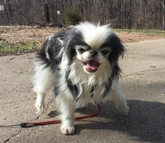 Meet Jacques, a Petfinder adoptable Pekingese Dog | Benton, AR | Introducing Jacques! This little guy is a petite, quiet little love! He is a bit timid but never...