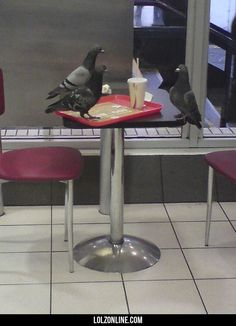 You've seen nothing until you've seen a picture of a pigeon having a job interview to become a pigeon#funny #lol #lolzonline