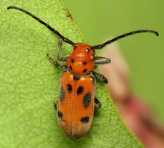 bug of the day   So excited to have finally come across one of these cool red milkweed beetles (Tetraopes tetrophthalmus) on the milkweed in my yard. As indicated by the long antennae, this species is in the longhorned beetle family, the Cerambycidae.