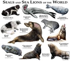 Seals and sea lions types of the world - www.anatomynote.com