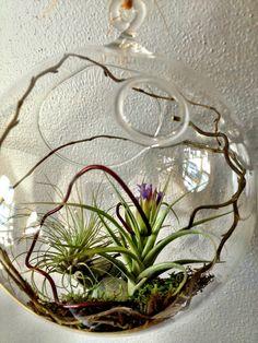 Bank of Memories & Flowers: Air Plants- Easy to Love