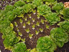 Garden Projects, Lettuce, Vegetable Garden, Vegetables, Food, Gardens, Meal, Home Vegetable Garden, Essen