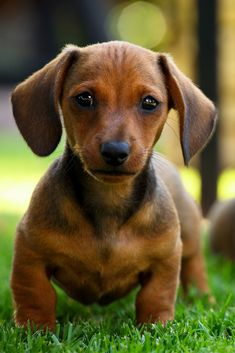 Little dachshund pup Dachshund Puppies, Weenie Dogs, Dachshund Love, Cute Puppies, Pet Dogs, Dogs And Puppies, Dog Cat, Pets, Daschund