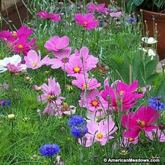 Love cosmos but looking for a shorter variety