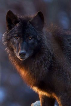 The Black wolf is like the Black sheep, both stand alone yet become the leader when all others follow.