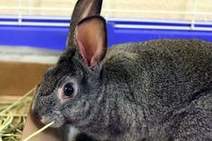 There is a $15 adoption fee for this pet.  This is just one of many rabbits at the Lawrence Humane Society who is looking for a home right now.  Come visit this bunny and many others in the handheld pets room!