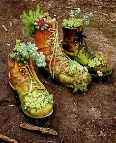 Old high top shoes make a great container for Sedum, as seen here. I just love such things as these!