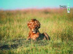 Funny Lion!