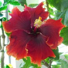 "'Burnt Saffron' is a very unusual hibiscus that blooms with large 7-9"" flowers in shades of dark, ""burnt"" orange. Our goal with this variety..."