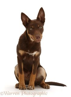 Dog: Brown-and-sable Australian Kelpie puppy, 4 months old Australian Shepherds, West Highland Terrier, Scottish Terrier, Rottweiler, Cute Dog Harness, Animals And Pets, Cute Animals, Schnoodle Dog, Husky