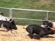 Pig racing at Alameda County Fair