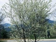Apple Serviceberry Amelanchier x grandiflora 'Princess Diana' : HGTV Gardens..this is the tree in the hillside garden...