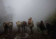 https://flic.kr/p/99HJs9 | Dorze people and cows - Ethiopia | Dorze people live in the highlands around Lake Abaya. In ancient times, they were  feared warriors but now the Dorze  have settled down to farming or weavings. They are famous for their houses which are constructed with vertical hard wood poles and woven bamboo. It can be 6 meters high. The house is divided in to a fireplace, cattle place, bedroom...   © Eric Lafforgue www.ericlafforgue.com