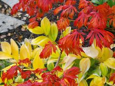 My favorite fall color tree EVER! Normally green the Full Moon Japanese Maple is totally showing off right now! Background you see Variegated Solomon's Seal turning yellow. Solomons Seal, Japanese Maple, Autumn, Fall, Orange, Yellow, Full Moon, Trees, Plants